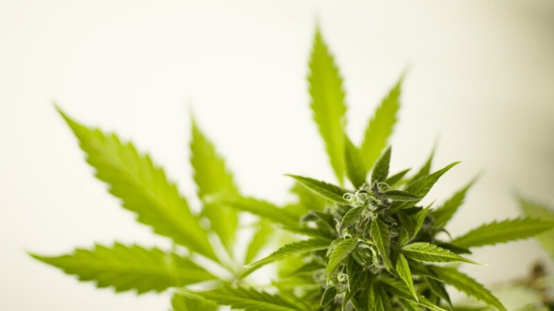 What are the Medical Benefits of Weed that you must know?